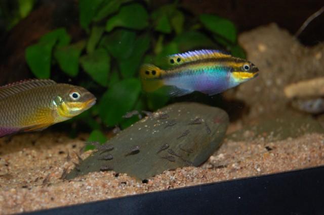 Pelvicachromis taeniatus Moliwe F0...et leurs bébés ;-) Couple%20pelvica%20et%20b%C3%A9b%C3%A9s%20DSC_0340%20%5B640x480%5D