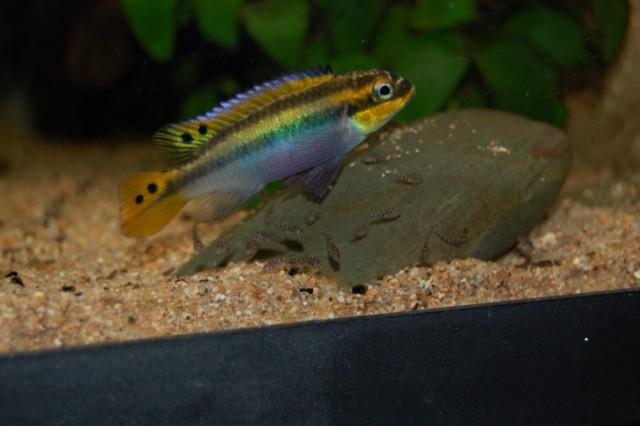 Pelvicachromis taeniatus Moliwe F0...et leurs bébés ;-) Femelle%20pelvica%20et%20b%C3%A9b%C3%A9s%20DSC_0336%20%5B640x480%5D